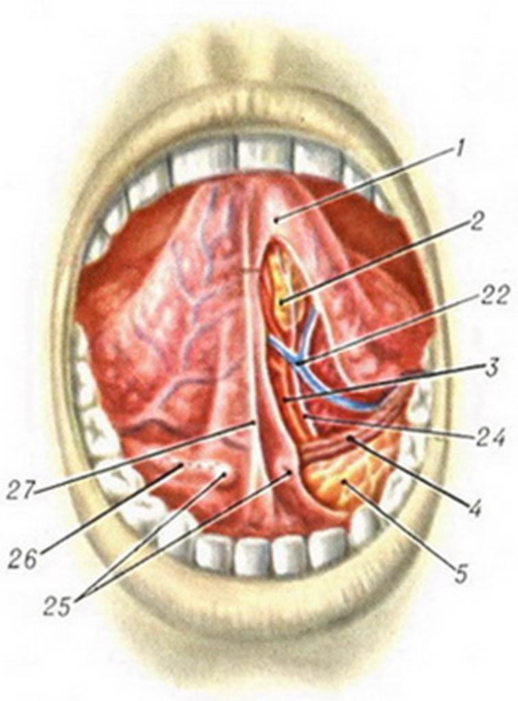 Язычная артерия фото