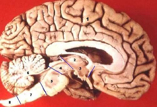 Лобные доли мозга и алкоголизма