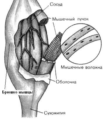 суставная впадина плечевого сустава