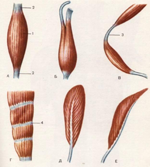 Форма мышц с картинками