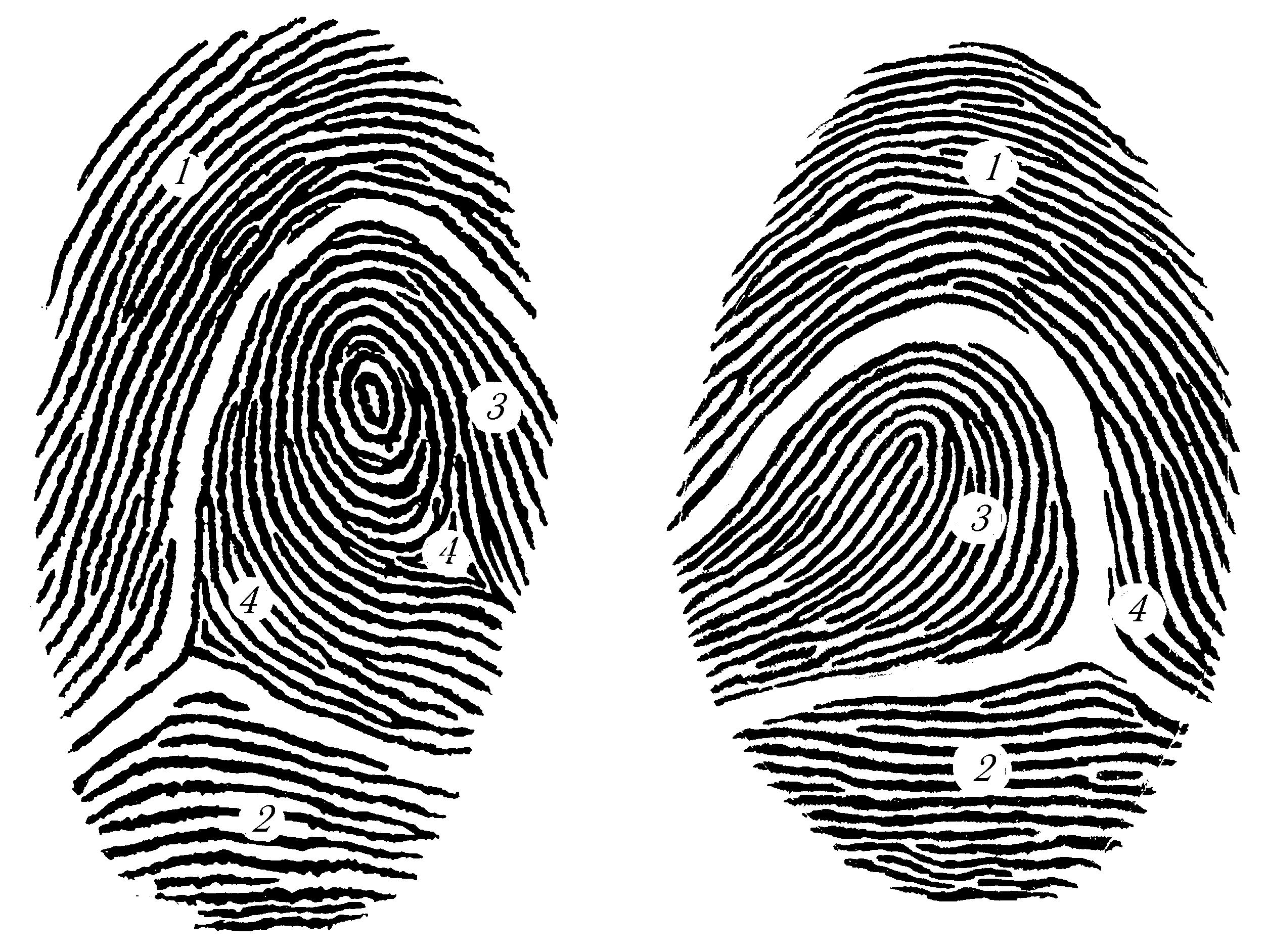 типы папиллярных узоров пальцев рук картинки середине века