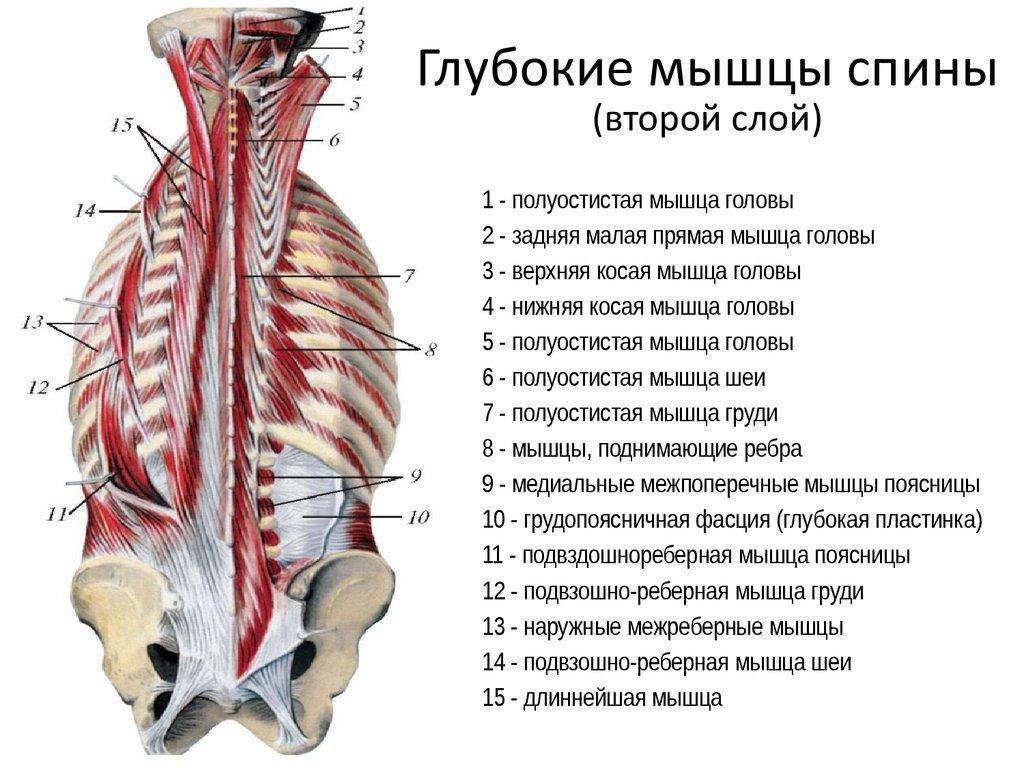 Где находятся глубокие мышцы спины википедия