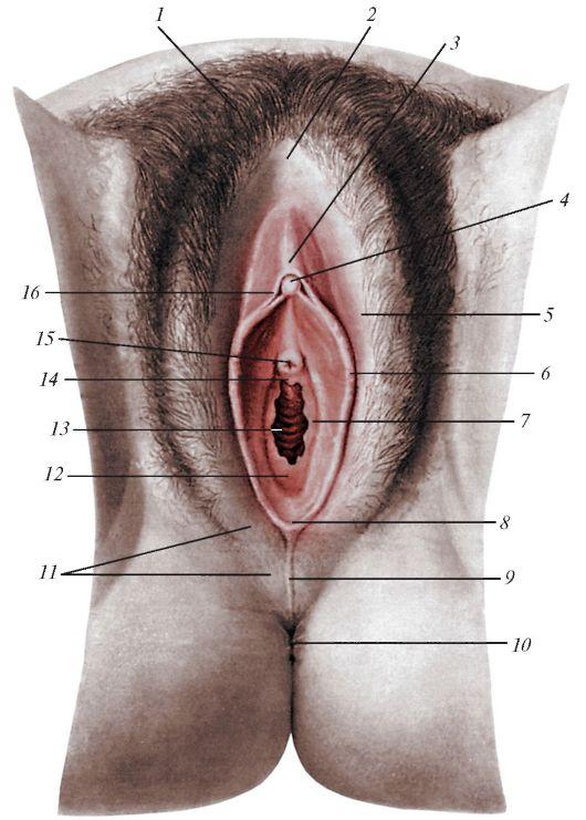 наглядное видео женских половых органов ложатся одна