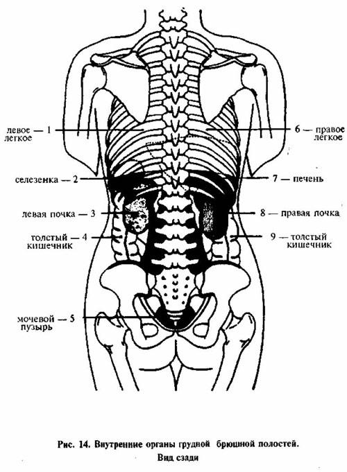 Внутренние органы человека расположение в картинках с надписями вид сзади, мышки смешные картинки
