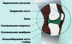 Изображение - Костно хрящевой сустав image001