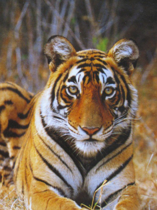 essay tiger extinction