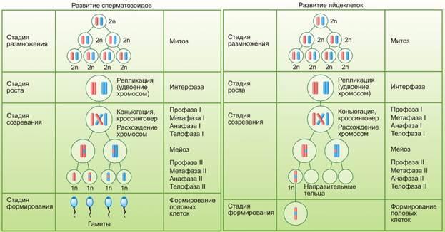 наличие зоны роста в гонадах в сперматогенезе-ня2