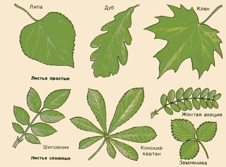 цветов сложные фото листья