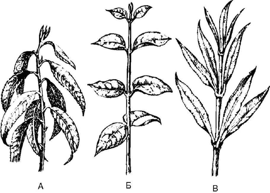 как листорасположение у растений в картинках отделочного