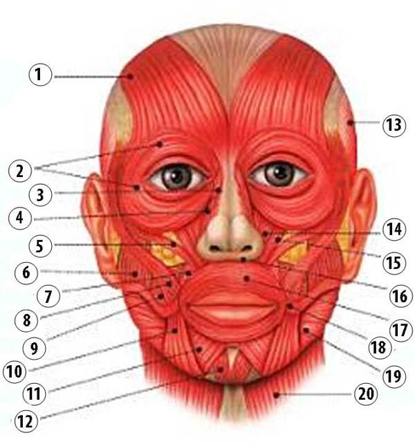 мембранный термокостюм почему образуются ямочки на треугольной мышце под губам если шерсть