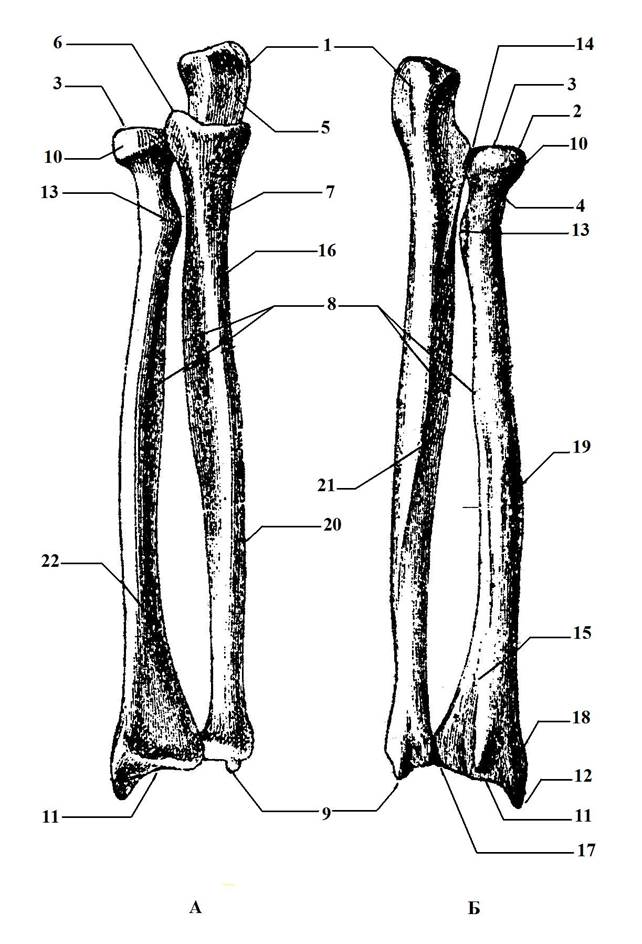картинка лучевой и локтевой кости размещение плакатов попарно