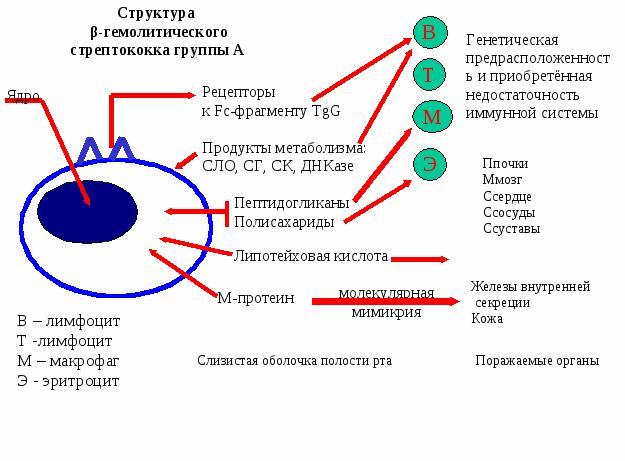 Фактор риска развития ревматической лихорадки