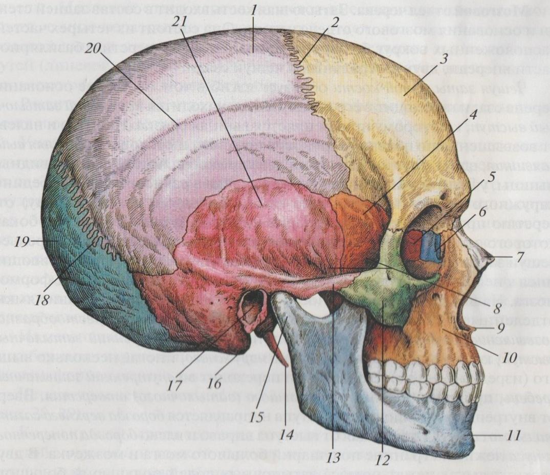 картинка черепа с костями строение недорогие повседневные платья
