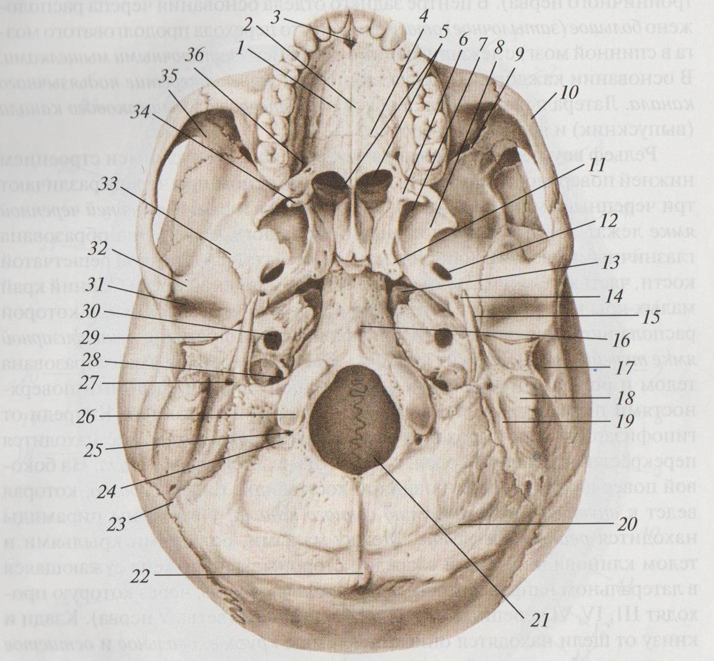 основание черепа анатомия в картинках провели