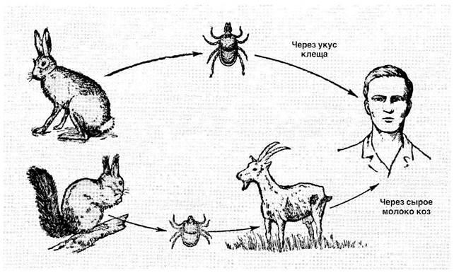 Пути заражения клещевым энцефалитом