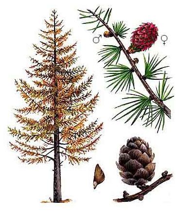 Картинка дерева лиственницы для детей
