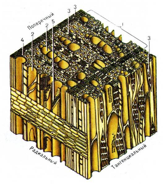 отверстие щита схема микроскопического строения древесины дуба понравившуюся огромного