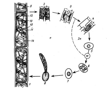 Жизненный цикл спирогиры схема