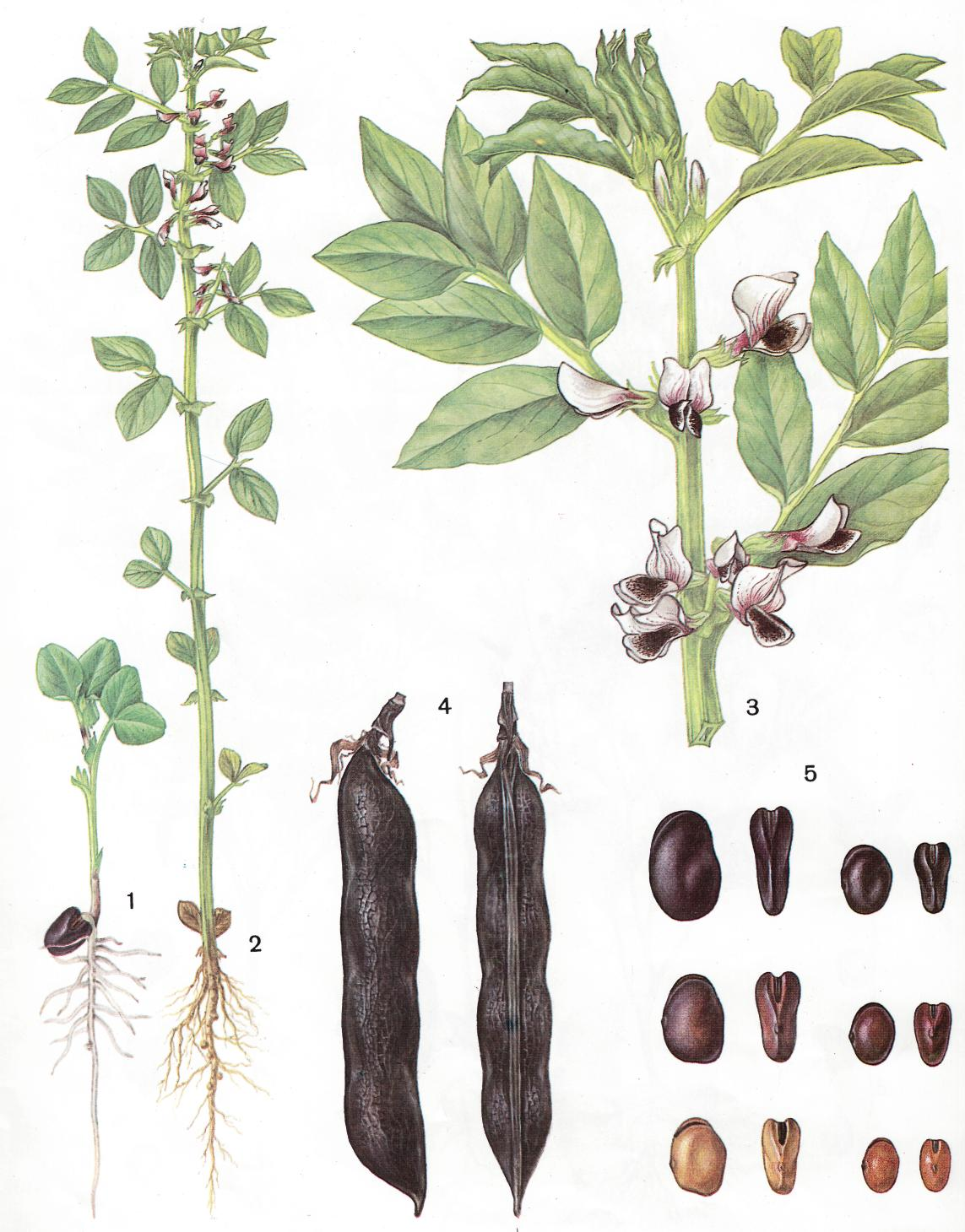 Растение бобы картинки