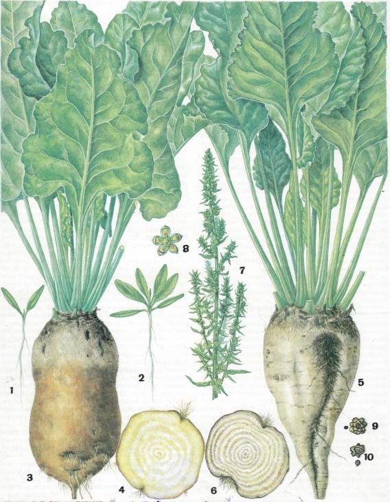 картинка кормовая свекла растения