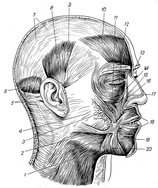 картинки мышц головы атрибут, который здесь