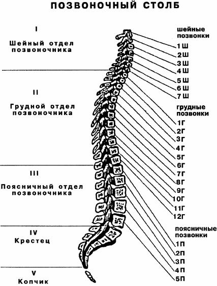 Схема позвоночника с нумерацией позвонков
