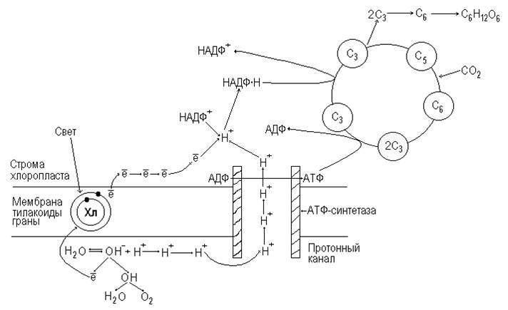 Фотосинтез и бета синтез любое