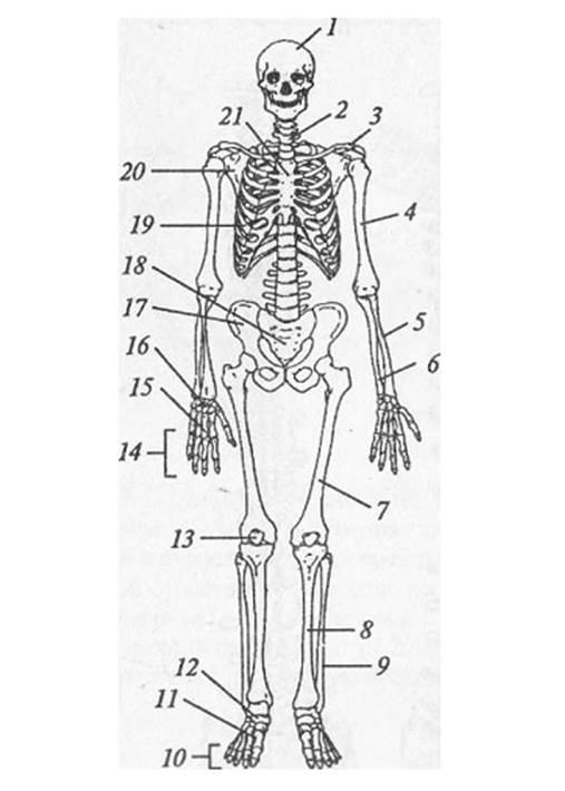 таким биология скелет картинки подарил шикарное золотое