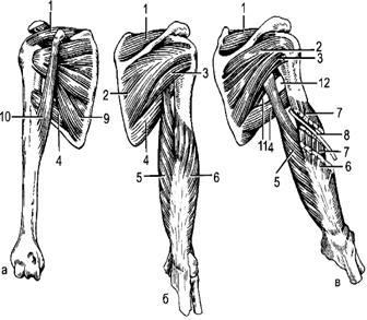 Изображение - В образовании грудино ключичного сустава принимает участие image016
