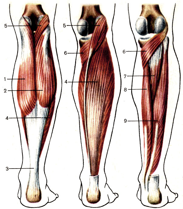 gastrocnemius muscle - 605×688