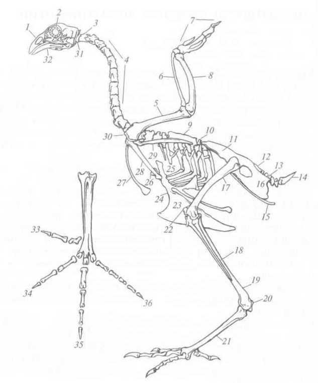 Скелет курицы картинки