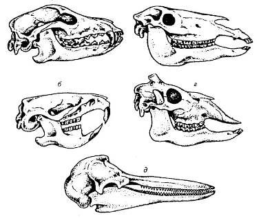 Жизнь, черепа млекопитающих различных отрядов в картинках