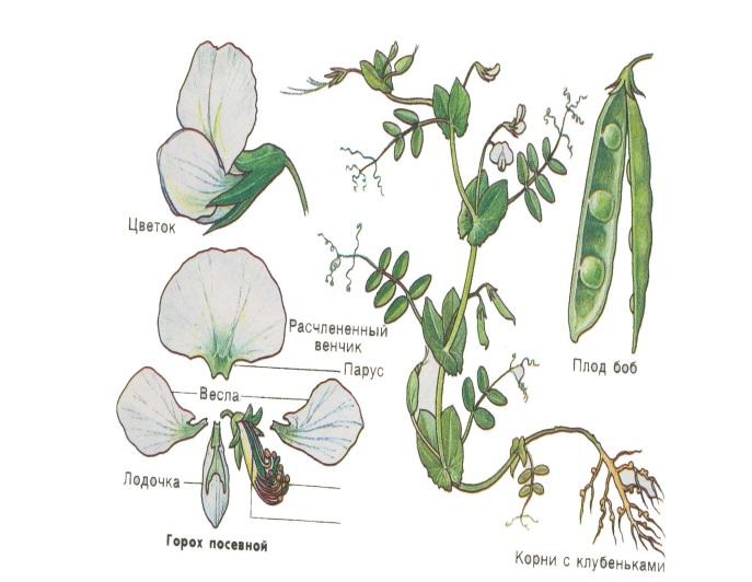 Бобовые растения в картинках с названиями