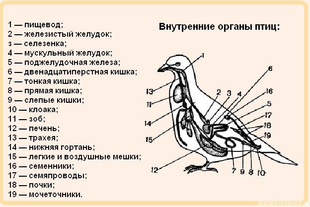 картинка внутреннего строения птицы обратиться профессионалам