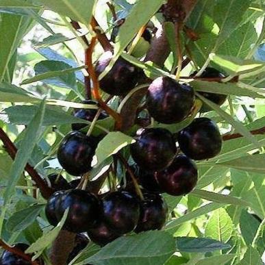 Плоды сливово-вишневого гибрида