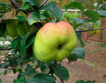 богатырь яблоки фото