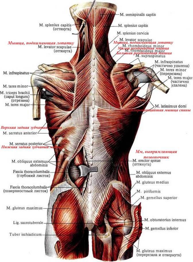 плугов мышцы спины анатомия с картинками работал инженером-механиком