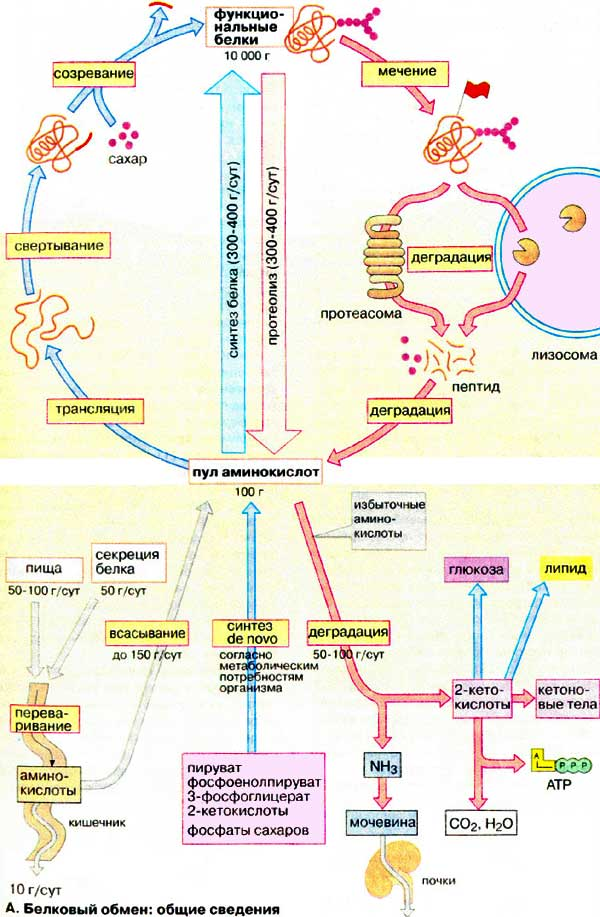 metabolism and protein a protein 76 gougeon r, styhler k, morais ja, jones pjh, marliss eb: effects of oral hypoglycemic agents and diet on protein metabolism in type 2 diabetes.
