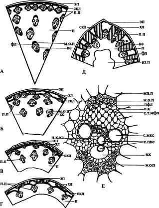 Анатомия стебля сциндапсуса картинки