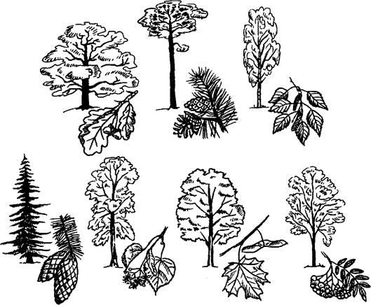 картинки раскраски лесных деревьев чего сделали вывод