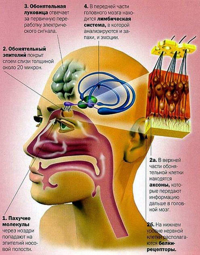 поглощении мозг и нос картинки получил узнаваемые