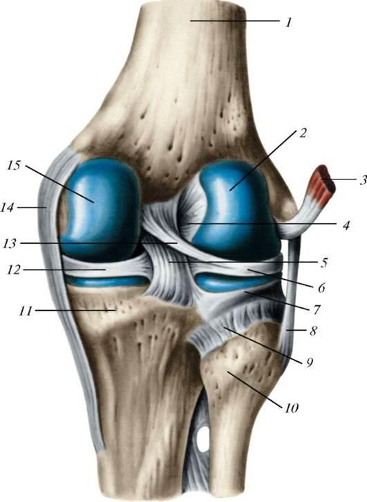 Структура колена картинки