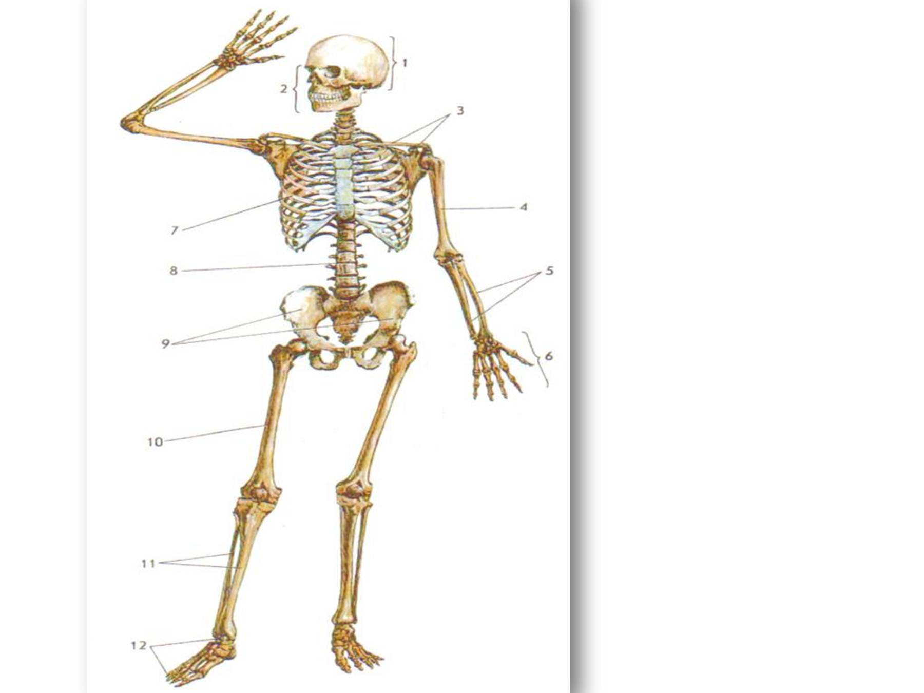 Картинки на тему скелет человека