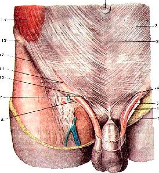 древнего учения, анатомия мужского паха фото которая