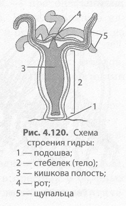 для гидры медузы характерна симметрия ответы