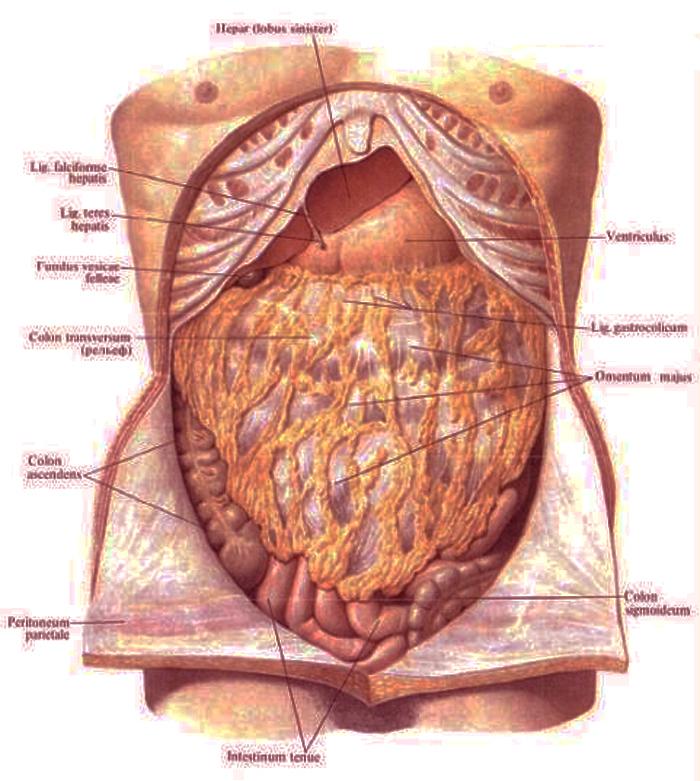 Картинки анатомия живота