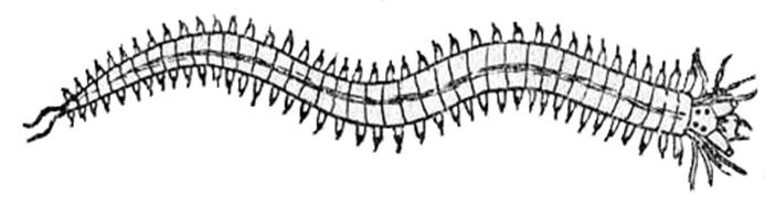 Кольчатые черви: фото, описание и образ жизни | 187x693
