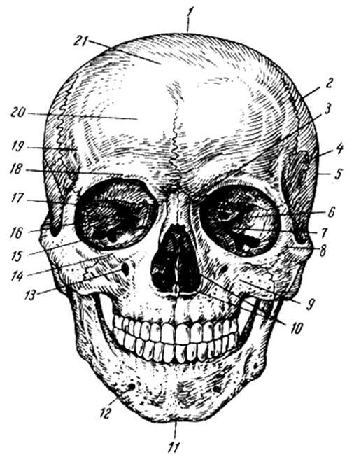 картинка черепа с костями строение главная