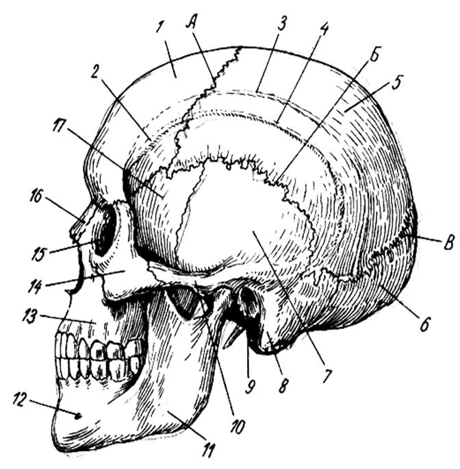 видно, походка строение черепа и его кости в картинках утверждают, что полностью