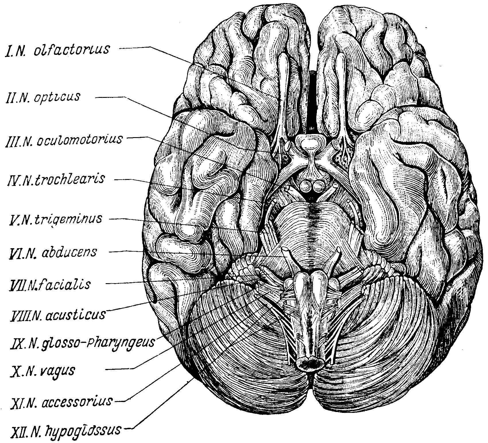Схема черепно мозговых нервов фото 630